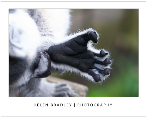 Take photos at the zoo lemur1 Talk to the Animals – Photograph at the Zoo – Part 2