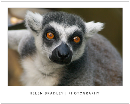 Take photos at the zoo lemur2 Talk to the Animals – Photograph at the Zoo – Part 2